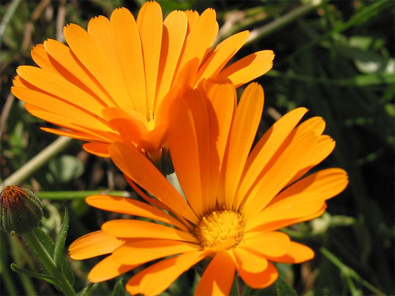 Cicek resimleri turuncu cicek renkli turuncu cicek